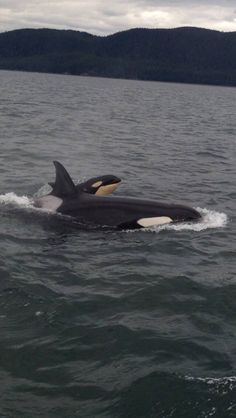 Mother & calf - Imgur. Orca. Killer whale. Captivity kills. It is wrong. Pledge not to buy a ticket to any marine park! Stop the captive breeding, the drilling of their teeth, the cramming of their food with antibiotics, feeding them gelatin to combat dehydration, separation of mothers and calves! Protect these majestic sea mammals. They deserve to live in the expanses of oceans not tiny man made concrete tanks! Make your own Orca board and spread the word!