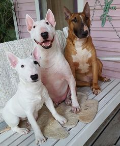 Tugg, big brother Ajaxx and little brother Tooey, on the porch swing at the pink house of Wuff ❤️