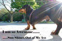 Dachshunds ARE full of themselves :) (They deserve to feel that way about themselves!)