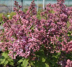 SYRINGA x hyacinthiflora 'Maiden's Blush' Syringa, Woodland, Lilac, Blush, Garden, Flowers, Plants, Lilac Bushes, Blushes