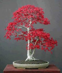 Bonsái│Árboles - #Trees - #Bonsai: