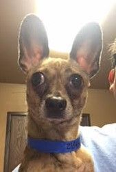 Chihuahua dog for Adoption in Seattle, WA. ADN-745764 on PuppyFinder.com Gender: Male. Age: Adult