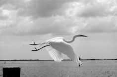 http://www.printedart.com/content/heron-taking    Amaribis Arnesen: Heron Taking Off    Available with acrylic finish for a float-on-the-wall display in sizes up to 40 x 27 inches.    White Heron taking off at Cayo Costa, Florida.