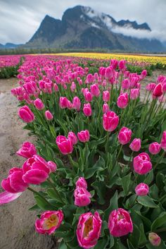 Pink Mountain Tulips by James Wheeler on 500px