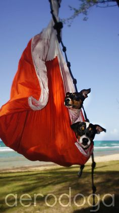 Aerial Yoga (AeroYoga) | Aerial Yoga for Dogs!