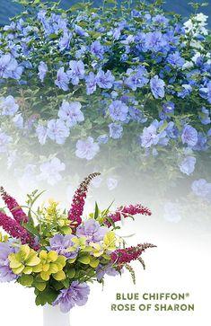 Pretty Flowers, Colorful Flowers, Purple Flowers, Front Yard Plants, Border Plants, Butterfly Bush, Rose Of Sharon, Flowering Shrubs, Plant Needs
