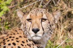 Reisebericht Afrika Kenia Tsavo West Ziwani Gepard