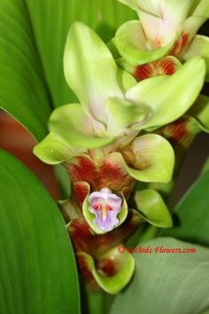 thiland orchids plants and flowers Orchid / hybrids | flower photography orchids flowers com image thai tulip curcuma ...