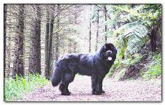 large dog breeds a-z Calm Dog Breeds, Dog Breeds Little, Big Dog Breeds, Brown Newfoundland Dog, Newfoundland Puppies, Big Dogs, Dogs And Puppies, Big Dog Little Dog, Large Dogs