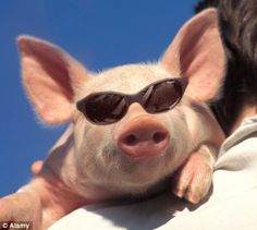 go there more than anything pigs news and photos perez hilton pigs ...
