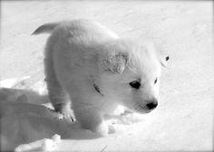 Malamute puppy! It looks like a mini polar bear!!
