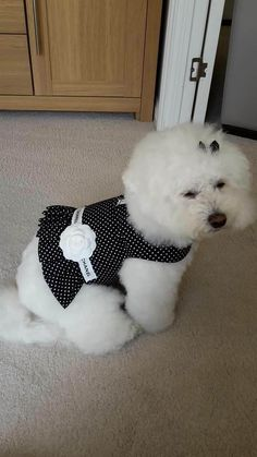 50 Shades of Bichon Frise                                                                                                                                                                                 More