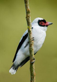 Masked Tityra - Costa Rica