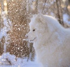 Samoyed in snow