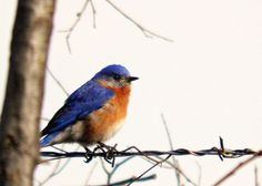Blue Bird Photography Orange,nature,Gift idea for bird lovers,adorable,turquoise,peach,home decor,sky blue,cerulean,eastern bluebird,cute on Etsy, $8.00