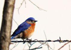 Blue Bird Photography Orange,nature,Gift idea for bird lovers,adorable,turquoise,peach,home decor,sky blue,cerulean,eastern bluebird,cute on Etsy, $8.00