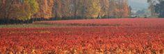 Blog de Vinos de Silvia Ramos de Barton -The Wine Blog- Argentina -: Carmenere y su Vendimia de Otoño