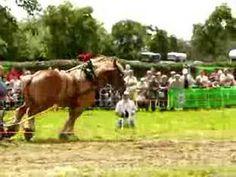 Belgium draft horse pulling