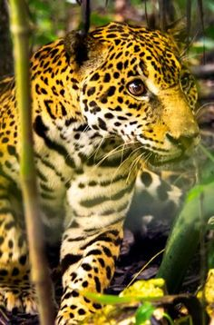 Jaguar in Belize. Outdoor adventure in Belize is absolutely amazing.