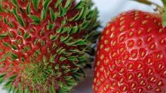 Viviparous germination is cause of strawberry seeds sprouting on strawberry. Why are the seeds on my strawberry sprouting while still on the strawberry? Fruit Garden, Vegetable Garden, Garden Plants, Box Garden, Organic Gardening, Gardening Tips, Gardening Services, Greenhouse Gardening, Gardening Gloves