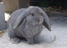 Frans hangoor konijn