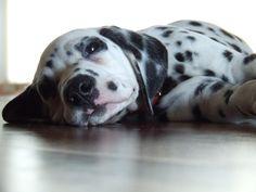 Madiba -Dalmatian
