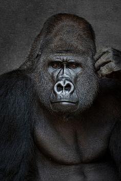 "Silverback gorilla ""Buzandi"", Zoo Hannover Germany."