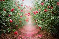 Resultado de imagen para rosas tumblr