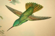 "Pair of  John Gould Hummingbird Hand Tinted Hummingbird Lithographs  ""Amazlia Pristina"" & ""Amazilia Ocai, Gould"""