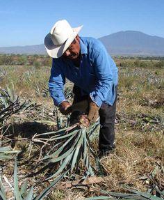 Fairtrade organic agaves, Mexico