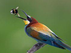 Der Bienenfresser ist einer der farbenprächtigsten Vögel Europas.