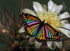 Real Rainbow Butterflies   Stunning...even if it isn't real.