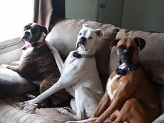 Just sittin'..... the fabulous #Boxer trio. Visit our website for stuff perfect for your pet.