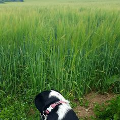 Lizzie was very curious about the field of grain we passed this morning...think it's oaks?  #twitter #puppiesofinstagram #irishsummer