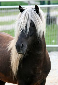 Icelandic horse- love the color of the mane! Horses And Dogs, Cute Horses, Horse Love, Wild Horses, Most Beautiful Horses, All The Pretty Horses, Animals Beautiful, Horse Photos, Horse Pictures