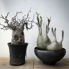 WEBSTA @ sin_takizawa - Wednesday.#pacypodiumgracilius #operculicaryadecaryi#specimenresearchlaboratory Unusual Plants, Rare Plants, Exotic Plants, Succulents In Containers, Cacti And Succulents, Succulent Bonsai, Invisible Ink, Interior Plants, Growing Plants