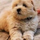 Kara King - This is what your mom wants for Christmas. Honey an 8 week old shih tzu lhasa apso - A Place to Love Dogs Animals And Pets, Baby Animals, Funny Animals, Cute Animals, Lhasa Apso Puppies, Bichon Frise, I Love Dogs, Cute Dogs, Awesome Dogs
