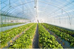 Buy greenhouse film/greenhouse film/ agriculture greenhouse 3 layer film/different specification/function film Agricultural Equipment on bdtdc.com