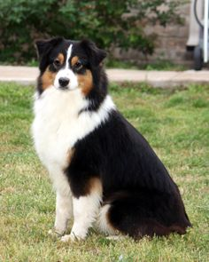 Australian Shepherd -this looks like my old show dog. I miss him so much!