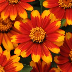 If you enjoy making fresh-cut bouquets from your garden, be sure to grow 'Zahara Sunburst' zinnia: http://www.bhg.com/gardening/flowers/annuals/the-best-new-annuals-for-2014/?socsrc=bhgpin042414zaharasunburstzinnia&page=6