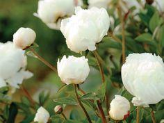 How to - Grow A Great Cutting Garden - Paeonia lactiflora