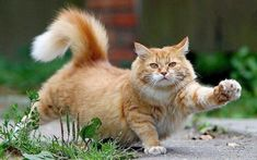 cat maine coon