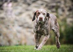 Braque du Bourbonnais by JD Roux Braque Du Bourbonnais, Wirehaired Vizsla, Dog List, Purebred Dogs, Weimaraner, Hunting Dogs, Doge, Dog Breeds, Dogs And Puppies