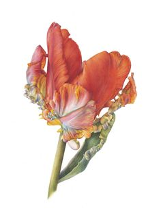 Parrot Tulip, Rococo by Fiona Strickland