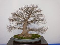 informal upright deciduous like JM with a softly curved trunk, oval pot, typically pale green, blue or beige glaze.