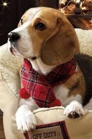 christmas beagle - Google Search