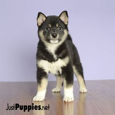 Current Inventory - Actual Photos of Real Puppies. Just Puppies is a Unique Boutique that provides Family Friendly Puppies. Husky Type Dogs, Orlando Florida, Puppies For Sale, Animals, Animales, Animaux, Animal Memes, Animal, Animais