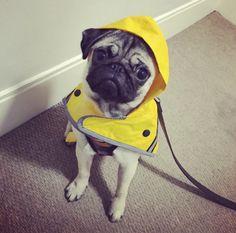 Social Pug Profile | Phoebe http://www.thepugdiary.com/social-pug-profile-phoebe/