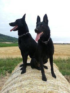Black German Shepherds.