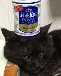 あずきの紅茶花伝乗せ😍ちょっと嫌がってたけど😅可愛い💕 #猫 #ねこ #猫好き #黒猫 #猫好きさんと繋がりたい #愛猫 #猫バカ #のせ猫 #猫部 #猫様 #ねこすたぐらむ #紅茶花伝 #親バカ#かわいい #可愛い猫